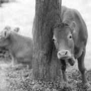 Las vacas no tienen la culpa